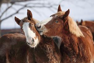 冬の馬の写真素材 [FYI03056054]