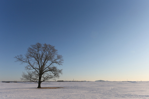冬のハルニレの木の写真素材 [FYI03056121]