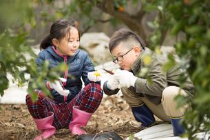 みかん畑と子供の写真素材 [FYI03056135]