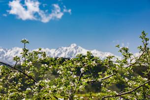 小川村の林檎の花が咲く頃にの写真素材 [FYI03056412]