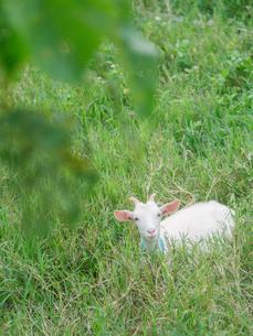 小浜島のヤギの写真素材 [FYI03056768]