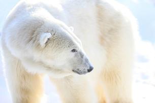 白熊の写真素材 [FYI03056778]