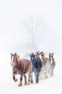 雪原を走る馬の集団の写真素材 [FYI03056821]