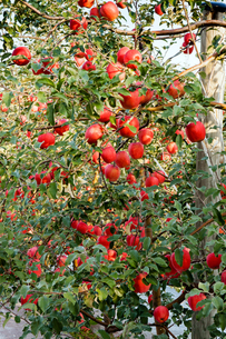 りんごの写真素材 [FYI03057069]