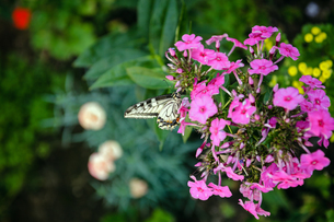 蜜を吸うアゲハチョウの写真素材 [FYI03057098]