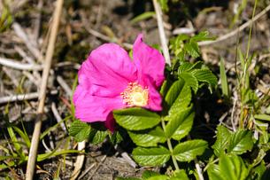 はまなすの花の写真素材 [FYI03057109]