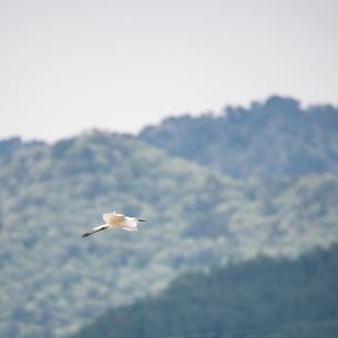 飛翔するシラサギの写真素材 [FYI03057138]
