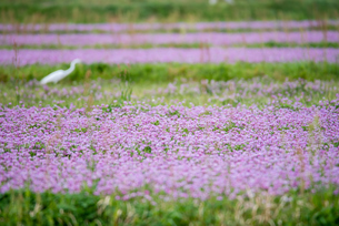 レンゲ畑とシラサギの写真素材 [FYI03057141]