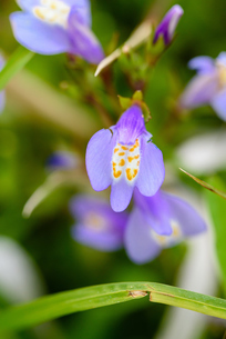ムラサキサギゴケの花の写真素材 [FYI03057152]