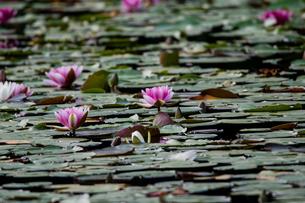 ハスの花の写真素材 [FYI03057277]