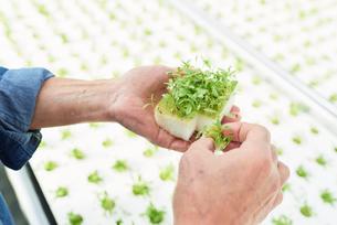 サラダ系野菜の水耕栽培の写真素材 [FYI03058014]