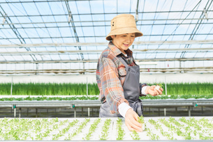 水耕栽培のハウスで働くシニアの女性の写真素材 [FYI03058022]