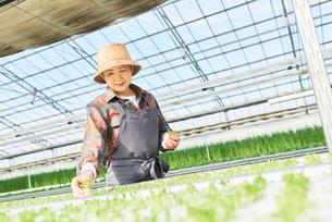 水耕栽培のハウスで働くシニアの女性の写真素材 [FYI03058029]