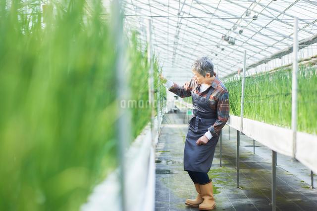 ハウスで野菜の品質に目を配るシニア女性の写真素材 [FYI03058033]