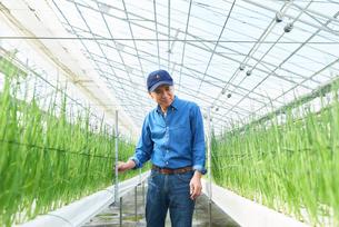 ハウスで野菜の品質に目を配るシニア男性の写真素材 [FYI03058035]