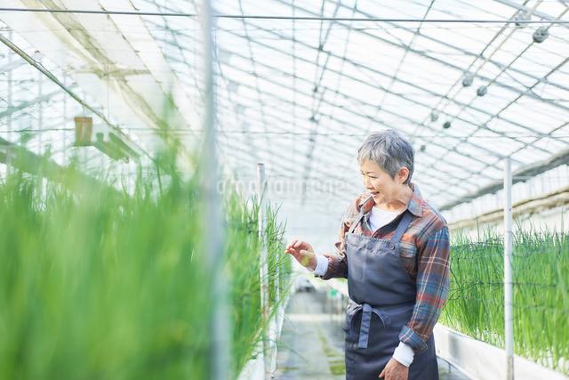 ハウスで野菜の品質に目を配るシニア女性の写真素材 [FYI03058038]