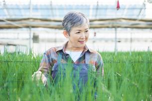 ハウスで野菜の品質に目を配るシニア女性の写真素材 [FYI03058039]