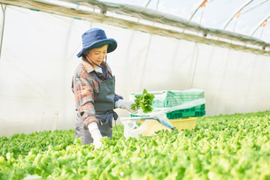 サンチュを収穫するシニアの女性の写真素材 [FYI03058045]