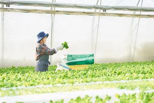 サンチュを収穫するシニアの女性の写真素材 [FYI03058046]
