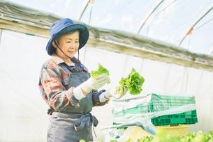 サンチュを収穫するシニアの女性の写真素材 [FYI03058047]