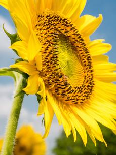 ヒマワリの花とミツバチの写真素材 [FYI03058118]