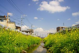 河川敷の菜の花の写真素材 [FYI03058255]