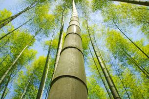 春の竹林の写真素材 [FYI03058273]