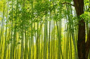 春の竹林の写真素材 [FYI03058277]
