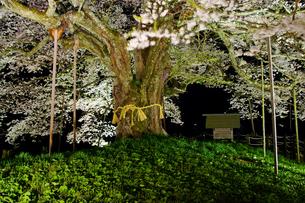 醍醐桜の写真素材 [FYI03058405]
