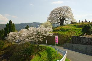 醍醐桜の写真素材 [FYI03058407]