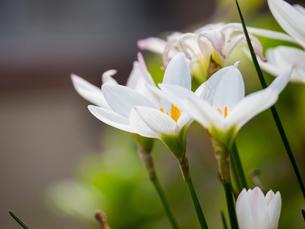 タマスダレの花の写真素材 [FYI03058497]