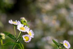雨上がりの白い花の写真素材 [FYI03058499]