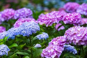 京の紫陽花の写真素材 [FYI03058630]