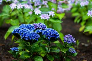 京の紫陽花の写真素材 [FYI03058631]