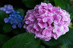 京の紫陽花の写真素材 [FYI03058632]