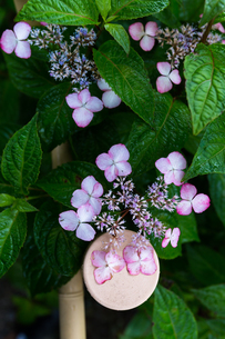 京の紫陽花の写真素材 [FYI03058634]