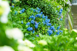 京の紫陽花の写真素材 [FYI03058636]