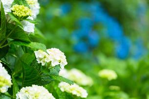 京の紫陽花の写真素材 [FYI03058637]
