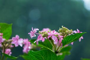 京の紫陽花の写真素材 [FYI03058640]