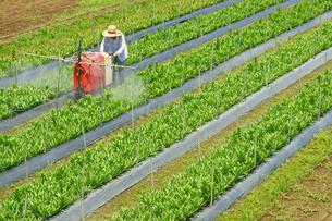 農薬散布の写真素材 [FYI03058769]
