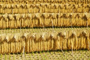 稲の掛け干しの写真素材 [FYI03058881]