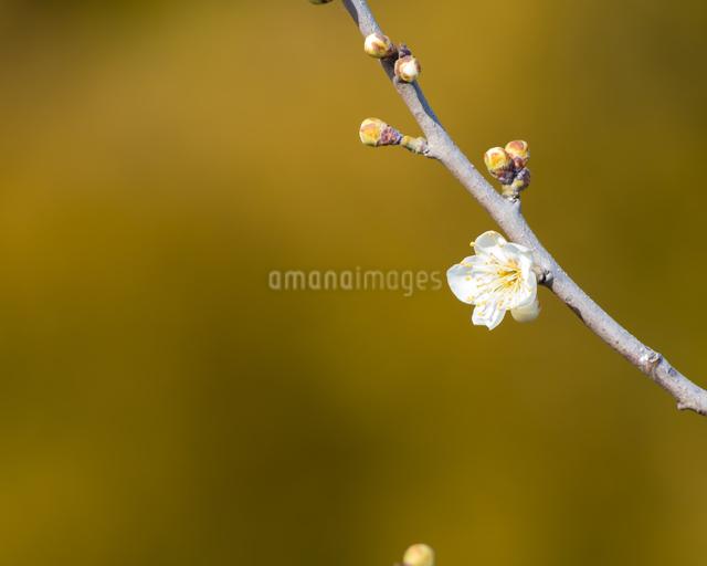梅の写真素材 [FYI03058958]