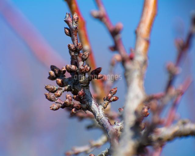 梅の蕾の写真素材 [FYI03058971]