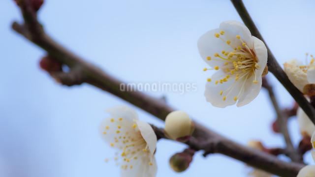 梅の写真素材 [FYI03058976]
