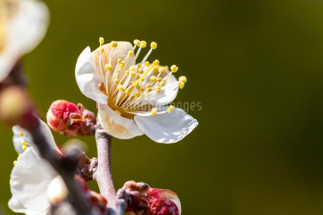 梅の写真素材 [FYI03058984]