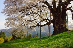 醍醐桜の写真素材 [FYI03059152]
