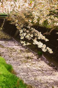 花が散った桜の写真素材 [FYI03059263]
