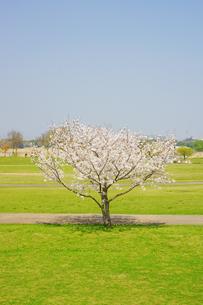 水前寺江津湖公園の桜の写真素材 [FYI03059269]