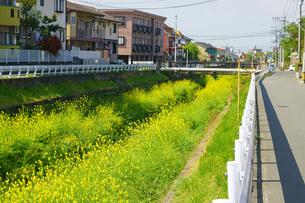 河川敷に咲く菜の花の写真素材 [FYI03059276]