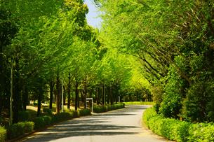 新緑のイチョウ並木の写真素材 [FYI03059282]